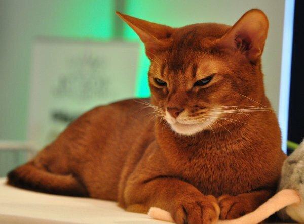 Двойной тикинг абиссинской кошки