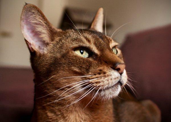 Ну, чем не дикая африканская кошка!