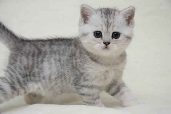 Котенок британской короткошерстной кошки