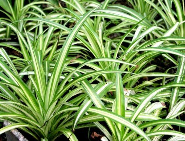 Растения хлорофитума обыкновенного