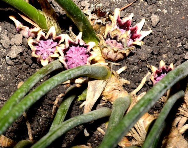 Экзотические цветки аспидистры