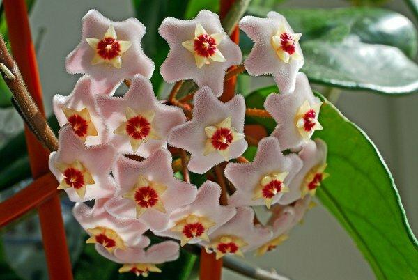 Сказочные звездочки цветков хойи украсят любое помещение