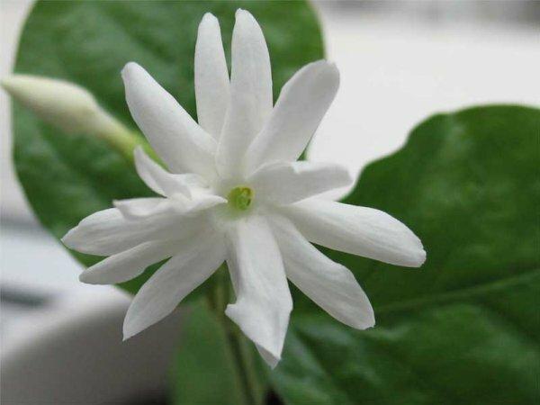 Ароматные цветки жасмина комнатного