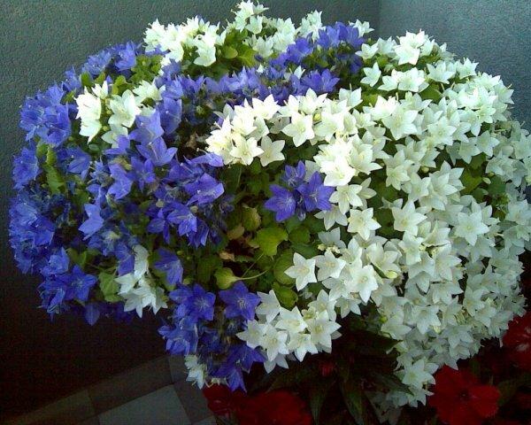 Буйное цветение колокольчика равнолистного
