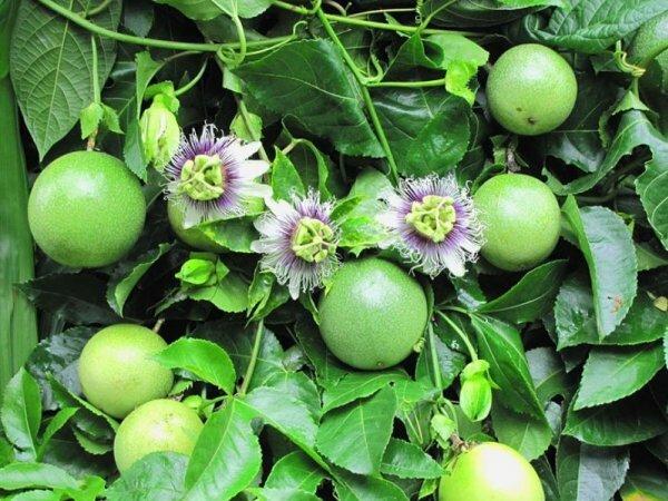 Цветки и плоды различных видов пассифлоры
