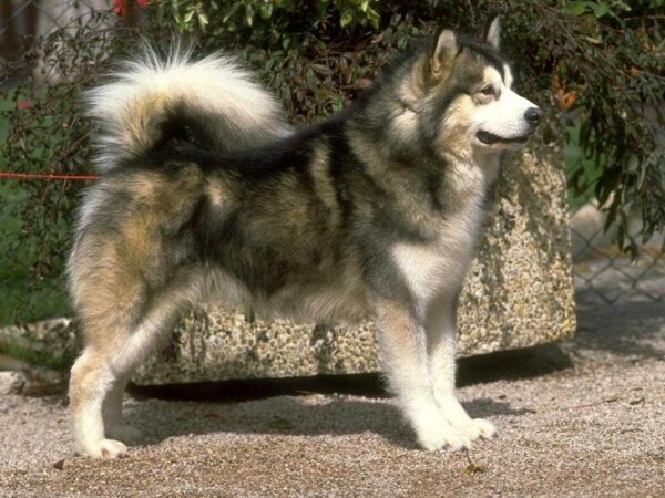 Маламут – результат скрещивания крупных диких волков и ездовых собак