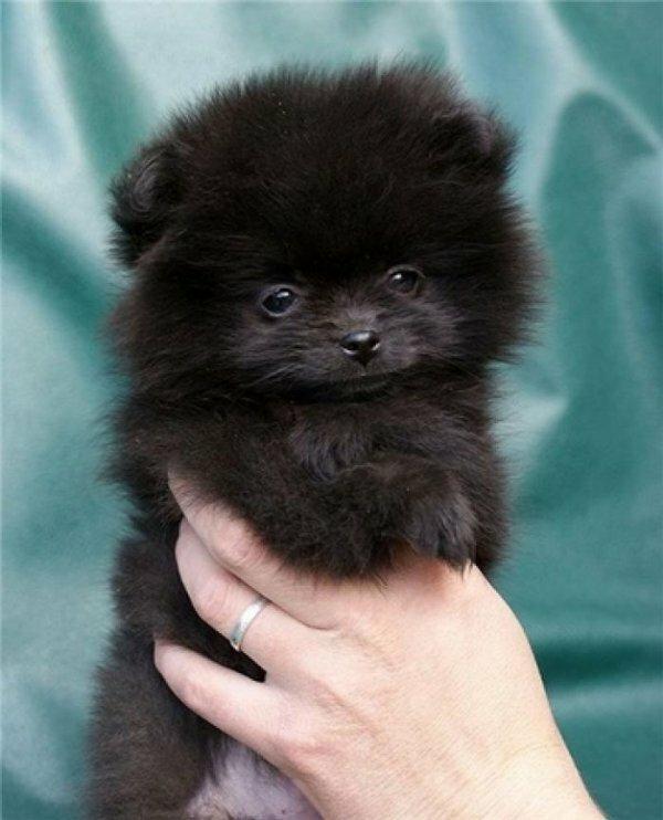 Меланхоличный щенок японского шпица