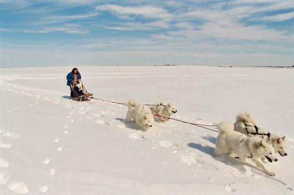 Ездовые упряжки самоедских собак
