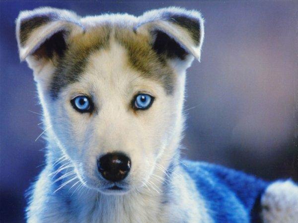 Голубоглазый щенок сибирского хаски