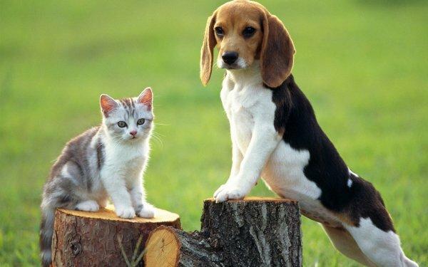 Дружба кошки с биглем – это дружба охотника с добычей