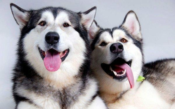 Аляскинские маламуты очень дружелюбные собаки