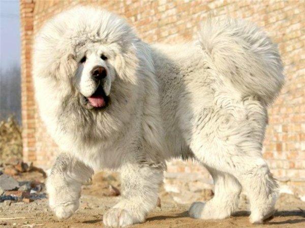 Иногда тибетца называют «снежным львом»