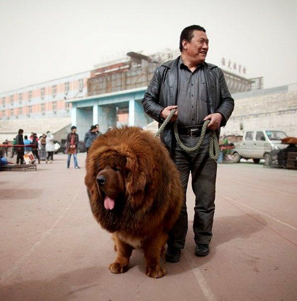 Особо ценится стандарт породы на ее родине и в Китае