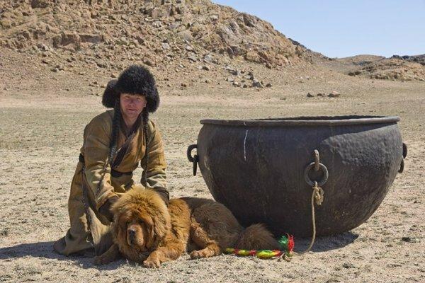 Приучение тибетского мастифа к общению с охраняемым «объектом» и воспитание силы и выносливости