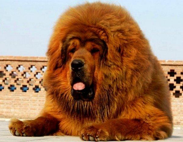 Тибетский мастиф львинообразного типа Дро-хи