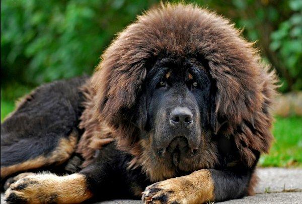 Мощная собака с красивой густой шерстью и гривой вокруг шеи