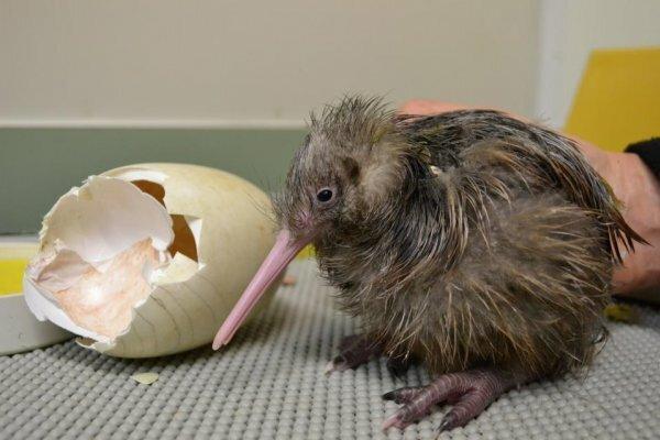 Птенцы киви вылупляются хорошо оперенными и могут не есть несколько дней