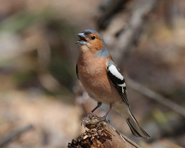 Зяблик – птица певчая