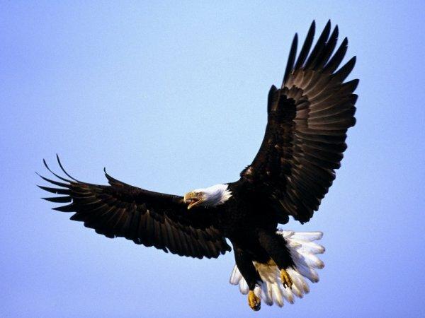 Размах крыльев орла может достигать 2-2,5 метров