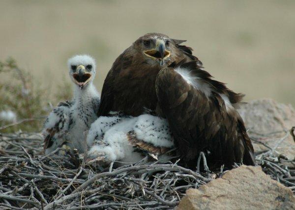 Самка орла защищает потомство