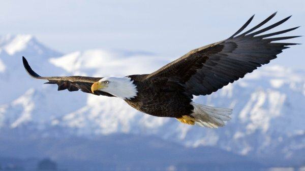 Горные орлы красивые и гордые птицы
