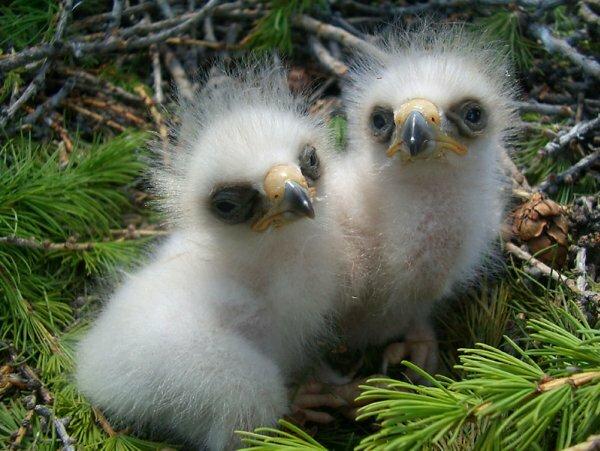 Гнездо с птенцами орла на вершине сосны