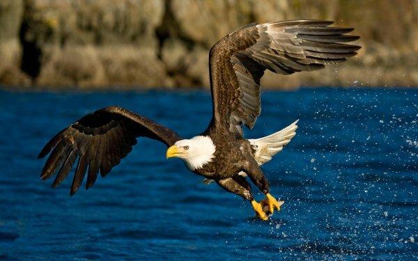 Орел с добытой рыбой