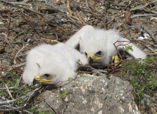 Маленькие, но уже агрессивные птенцы орла