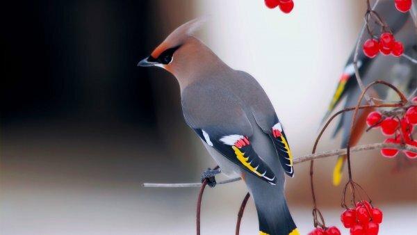Необыкновенный красавец - свиристель обыкновенный