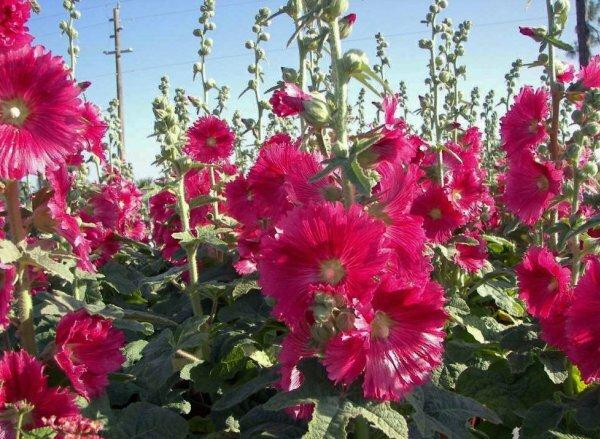 Цветки мальвы с резными краями