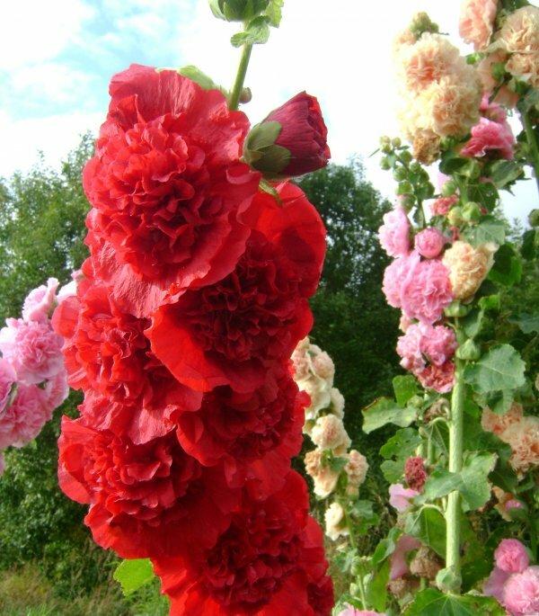 Махровая шток-роза