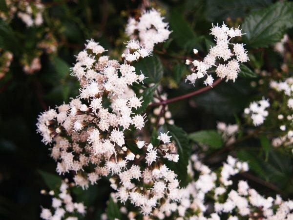 Нечасто и не на каждой клумбе можно увидеть растения посконника шоколадного