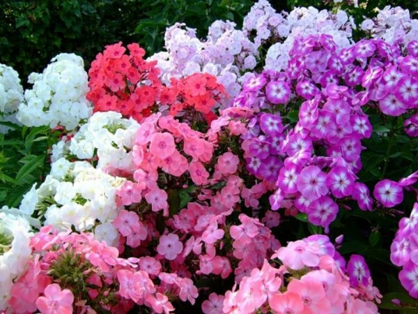 Многоцветье садовых флоксов
