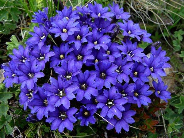Яркие цветы горечавки джамильской соперничают с двухцветными колокольчиками горечавки Оливье