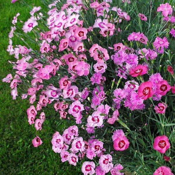 Цветочный ковер из гвоздики-травянки