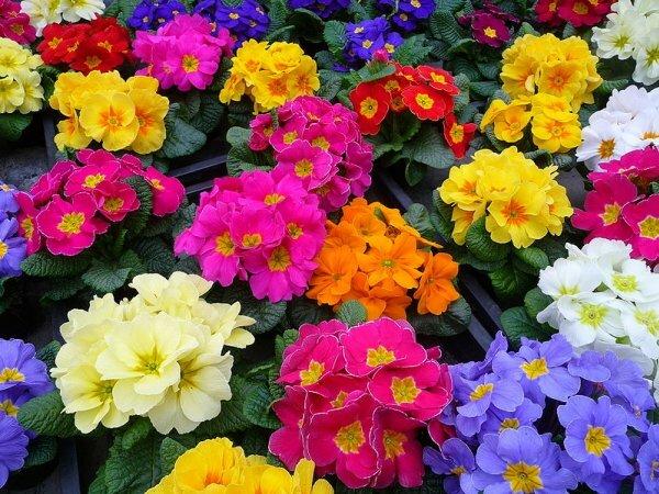 Все краски весны в соцветиях примулы садовой