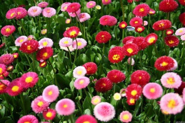 Скромные маргаритки - лучшее украшение газонов и клумб