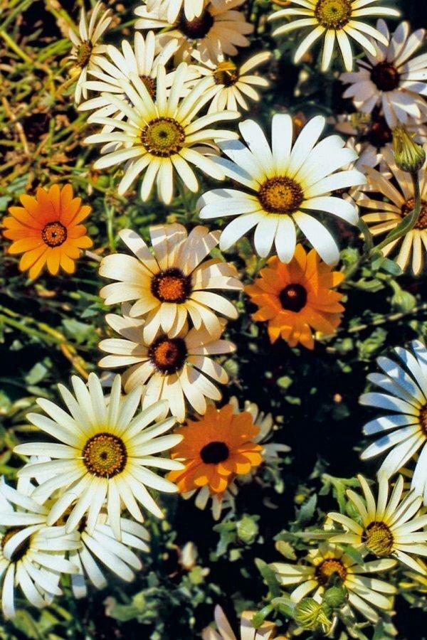 Цветки диморфотеки с обычными лепестками