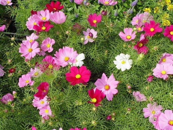 Привычные всем расцветки многолетника космеи