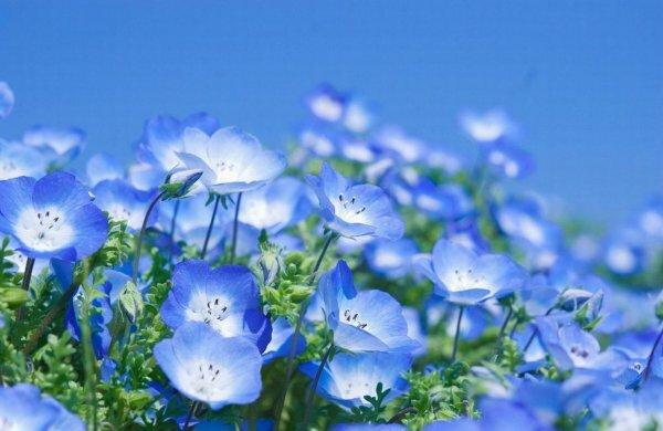 Романтическая небесно-голубая немофила