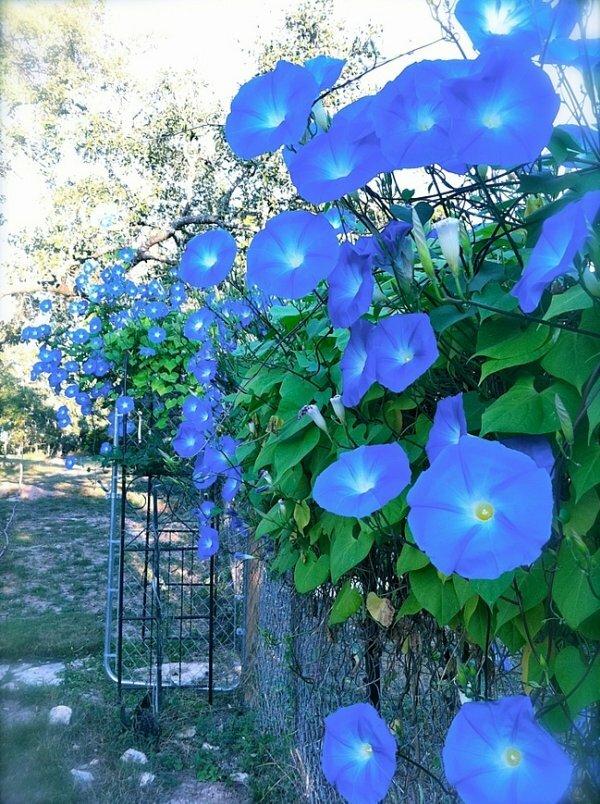 Изгородь увитая вьющейся ипомеей с голубыми граммофонами цветков