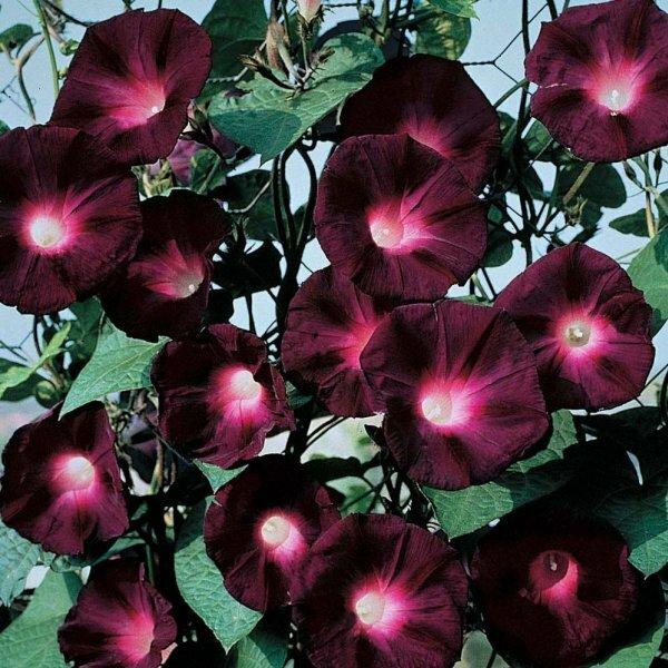 Ипомея пурпурная украсит любую беседку, арку или изгородь