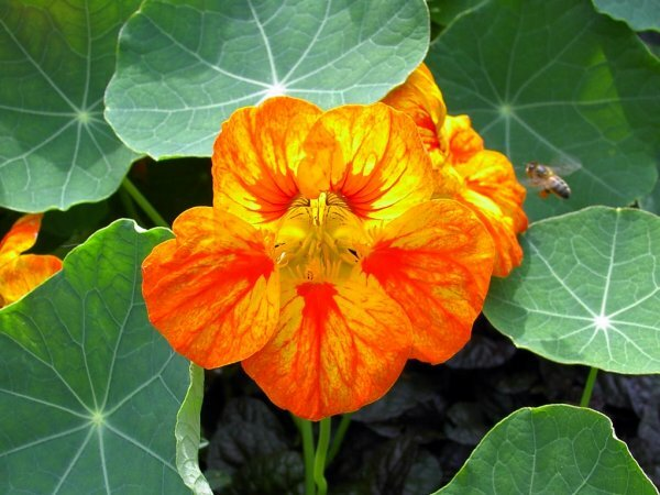 Вьющаяся форма настурции не менее эффектна в садовом дизайне