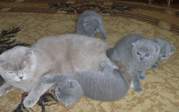 Британская вислоухая кошка - заботливая мать