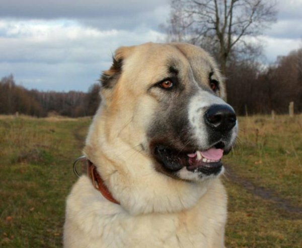 Картинки по запросу алабай фото собаки